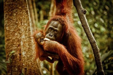 nurture the baby_foto for rumah orangutan by ruben algoquerecordar